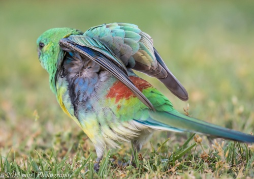 Red Rumped Parrot, Elster Creek, Elsternwick