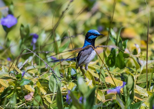 Superb Fairy Wren, Chiltern Mt Pilot National Park