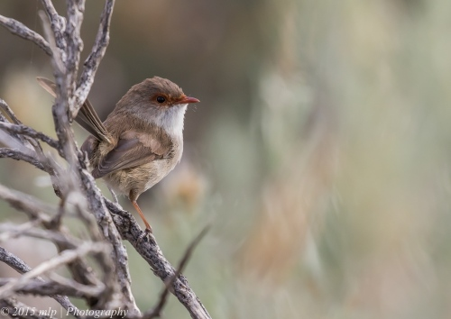 Superb Fairy Wren,  Elster creek