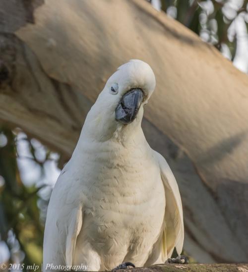 Sulphur Crested Cockatoo, Elster Creek