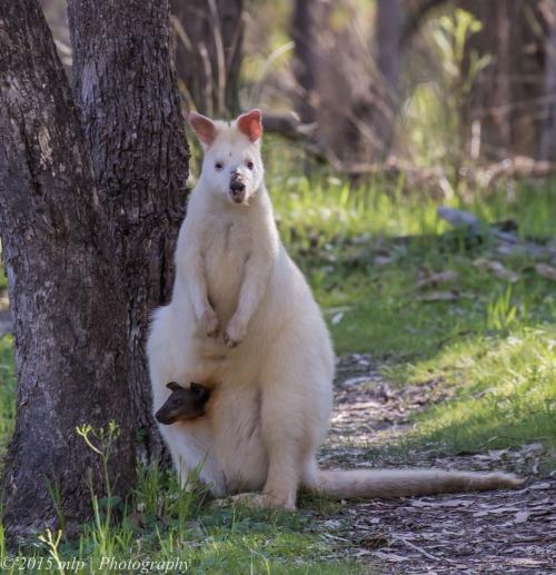 Albino Swamp Wallaby
