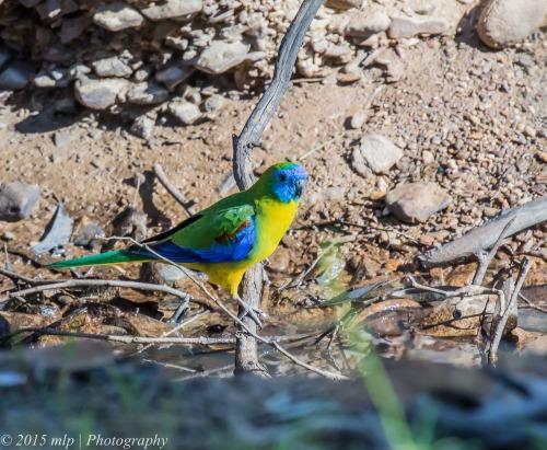 Turquoise Parrot, Chiltern Mt Pilot National Park