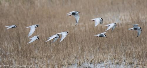 Whiskered Tern flock, Western Treatment Plant