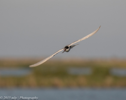Whiskered Tern, Western Treatment Plant,
