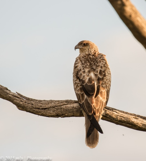 Whistling Kite guard, Western treatment plant