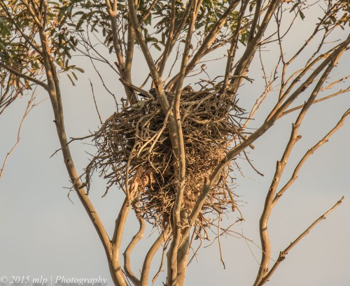 WHistling Kite nesting, Western treatment plant