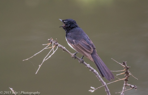 Willie Wagtail, Elster creek