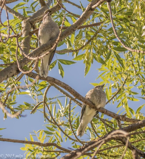 Black Faced Cuckoo Shrike chicks, Elster Creek