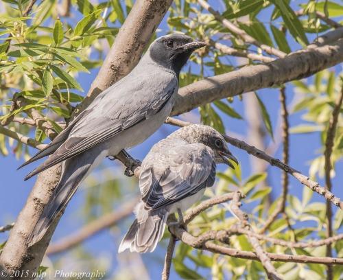 Black Faced Cuckoo Shrike, Elster Creek, Elwood