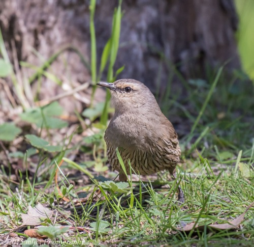 Brown Treecreeper, Cynide Dam, Chiltern National Park