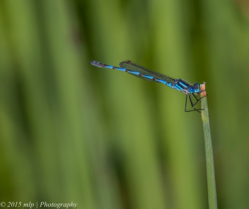 Blue Ringtail Damselfly, Elster Creek