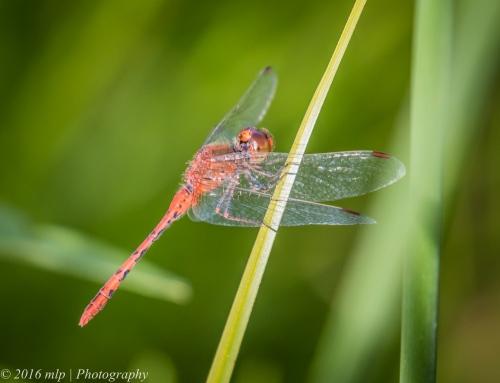 TBC Dragonfly, Elster Creek, Elsternwick