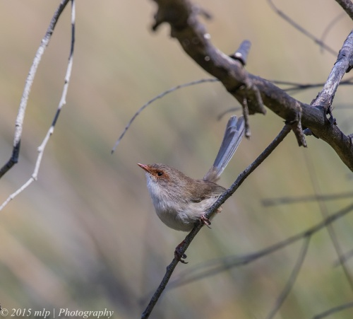 Female Superb Fairy Wren, Cynide Dam, Chiltern National Park