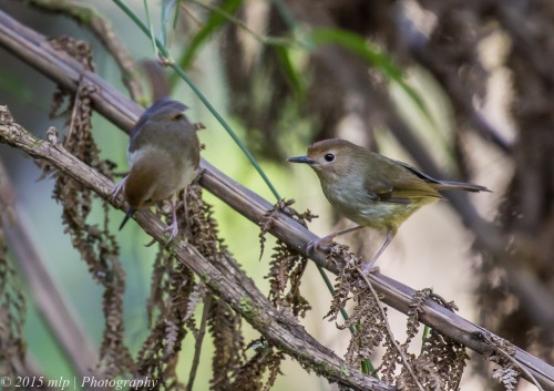 Large Billed Scrubwren, Welch Track, Dandenong Ranges Nat Park