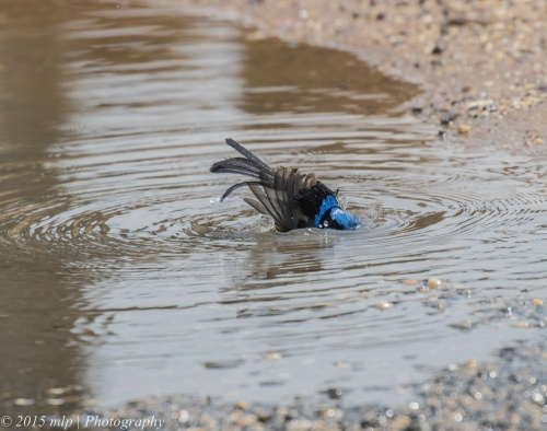 Male Superb Fairy Wren, Pt Addis,