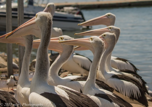 Pelican, Hasting Harbour