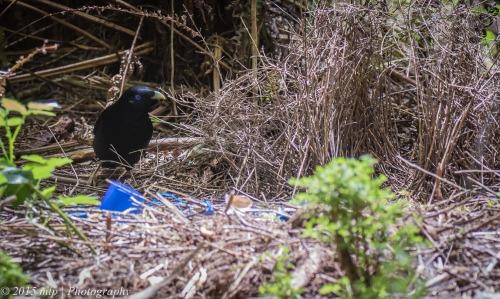 Satin Bowerbird, Stevenson Falls, Great Otway National Park