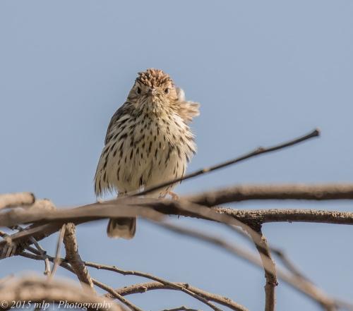 Speckled Warbler, Bartleys Block, Chiltern National Park