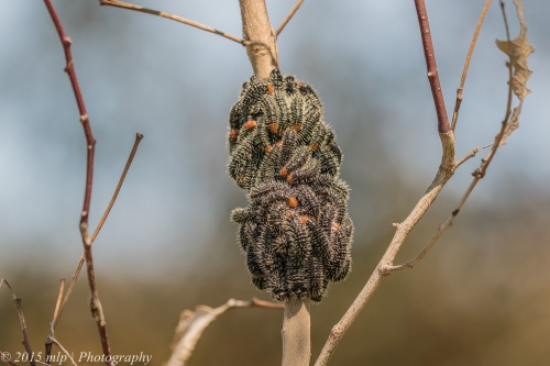 Spitfire Sawfly Larvae, Bartley's Block, Chiltern
