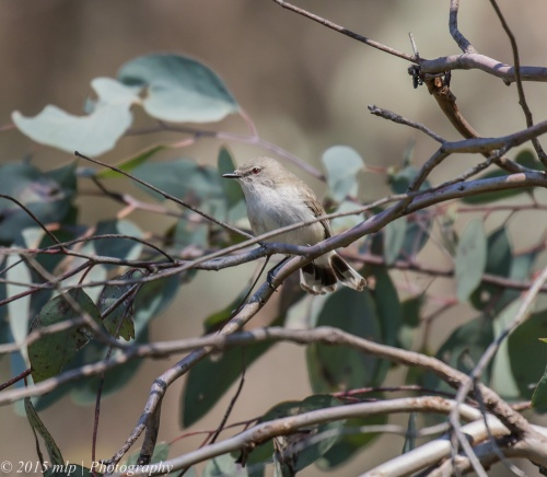 Western Gerygone, Bartley's Block, Chiltern