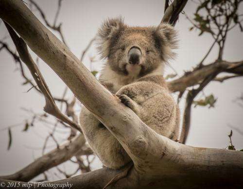 Koala, Cape Otway, Great Otway National Park