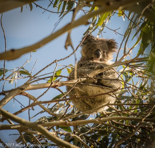 Koala, Old Hordern Vale Rd, Apollo Bay