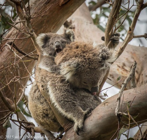 Koala and joey, Cape Otway, Great Otway National Park