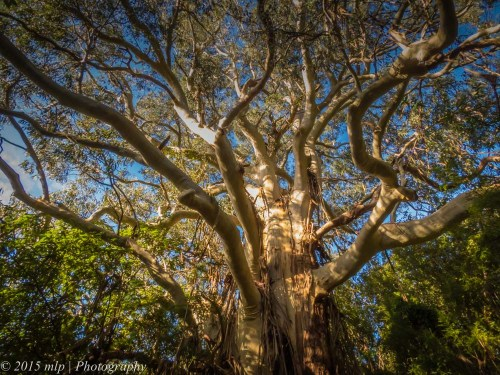 A large gum tree, Old Hordern Vale Rd, Apollo Bay