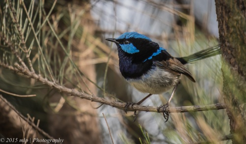 Superb Fairy Wren, Karkarook Park, Heatherton
