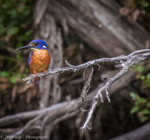 Azure Kingfisher, Genoa River, Gypsy Pt