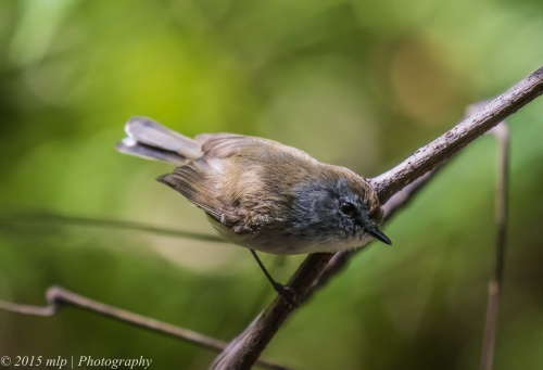 Brown Gerygone, Cabbage Tree Creek