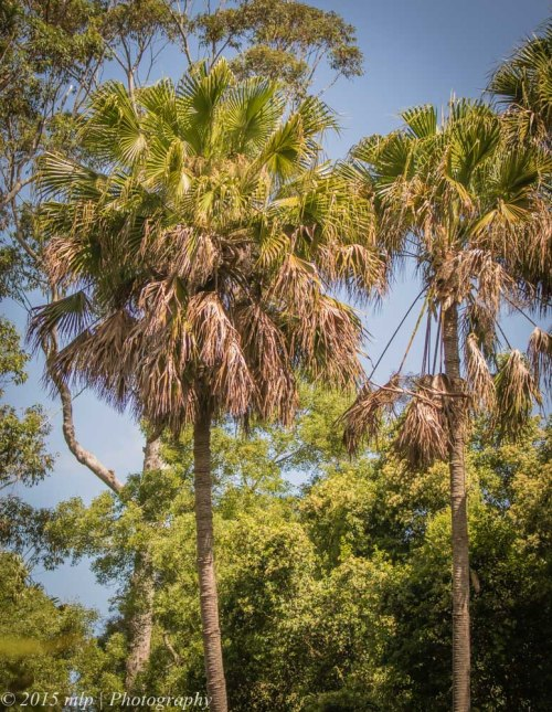 Cabbage Tree Palm, Cabbage Tree Creek