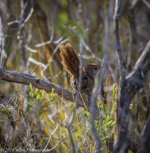 Eastern Bristlebird, Cape Howe Wilderness Area