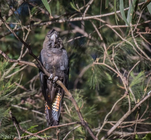 Juvenile Glossy Black Cockatoo, Shady Gully Reserve, Mallacoota