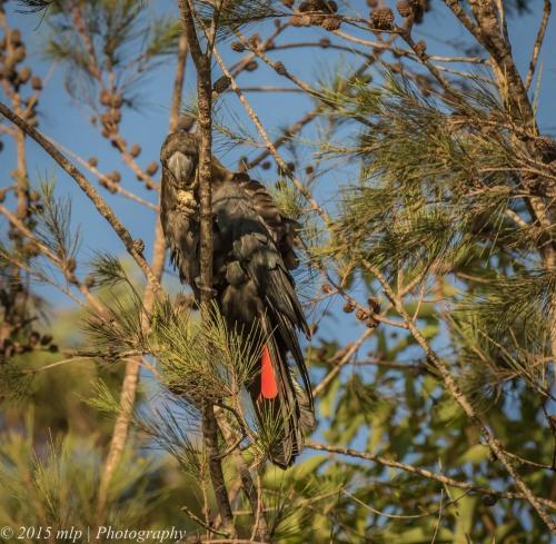 Glossy Black Cockatoo, Shady Gully Reserve, Mallacoota