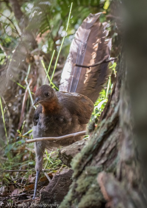 Superb Lyrebird, Double Creek Nature Reserve