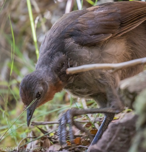 Superb Lyrebird, Double Creek Nature Reserve