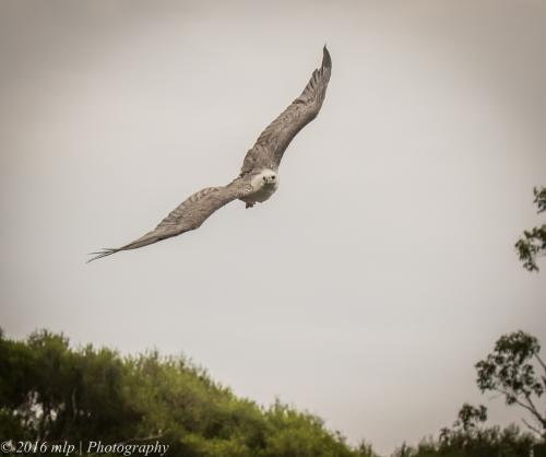 White Bellied Sea Eagle, Genoa River, Gypsy Pt