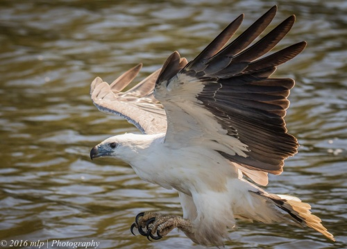 White Bellied Sea Eagle, Genoa River, Gypsy Pt