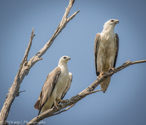 White Bellied Sea Eagles, Genoa River, Gypsy Pt
