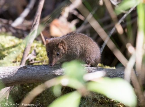 Antechinus, Double Creek Nature walk, Mallacoota