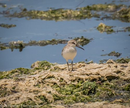 Broad Billed Sandpiper, Western Treatment Plant