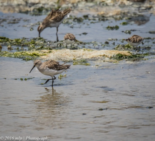 Curlew Sandpiper, Western Treatment Plant