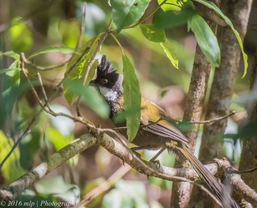 Eastern Whipbird, Double Creek Nature walk, Mallacoota