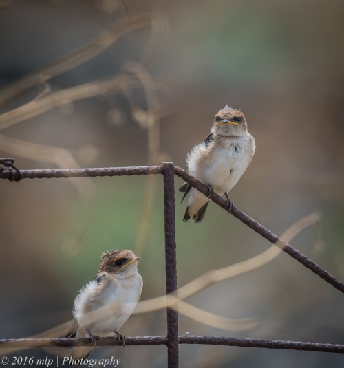 Juvenile Fairy Martins, Werribee Treatment Plant, Victoria