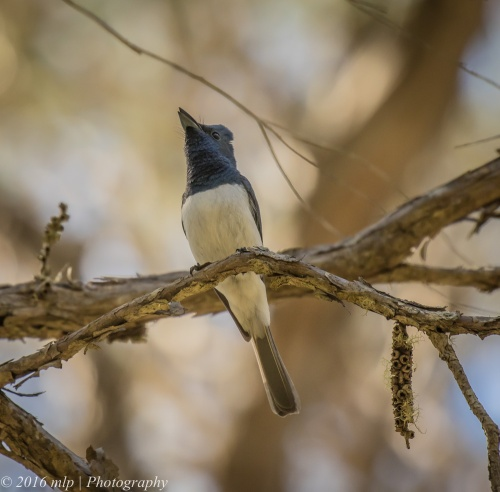 Male Leaden Flycatcher, Double Creek Nature walk, Mallacoota