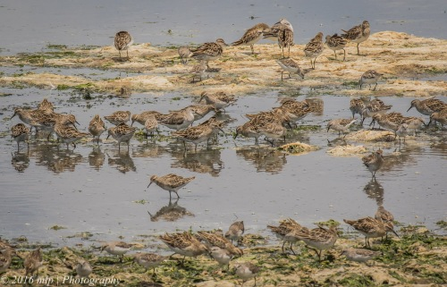 Mixed Sandpiper stint flock, Western Treatment Plant