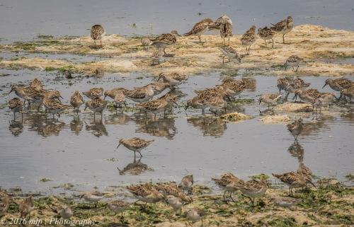 Mixed Sandpiper stint flock, Western Treatment Plant