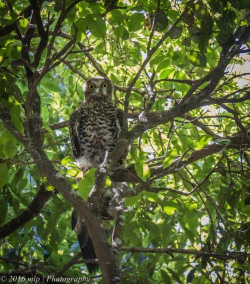 Powerful Owl, Pittosporum Walk, Mallacoota