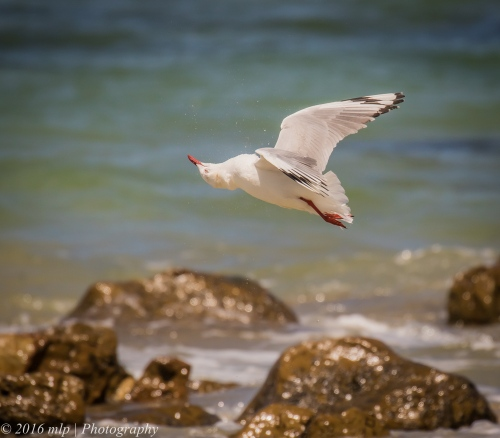 Silver Gull, Bastion Point, Mallacoota